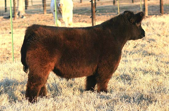 tusa131 High Stakes Cattle Sale   Ends March 10th