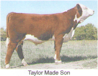 Polled Hereford Bulls - Steer Planet - Show Steers & Cattle