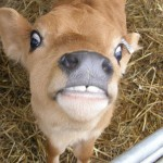 JerseyCalf 150x150 Funny Cow Photos