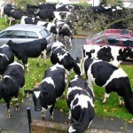 cowseverywhere 150x150 Funny Cow Photos