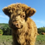 highland 150x150 Funny Cow Photos