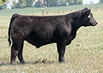 22 t Reminder Baughman Show Cattle Online Sale   Tuesday 9/11