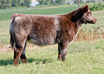 614 t Reminder Baughman Show Cattle Online Sale   Tuesday 9/11