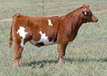 89 t Reminder Baughman Show Cattle Online Sale   Tuesday 9/11