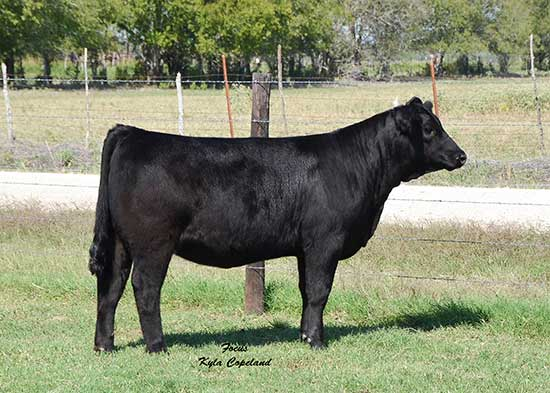 tusatag6 Supreme Genetics and Tusa Show Cattle Online Auction 10/17