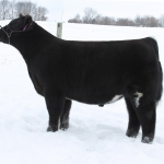 tag 131 steer 150x150 Elliott Cattle 3rd Annual Fall Born Sale on CW Cattle Sales   ENDS TONIGHT
