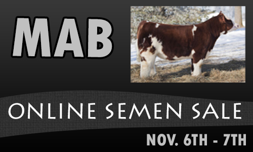 mab bannerlg Man Among Boys (MAB) Online Semen Sale OPEN on Steer Planet Auctions